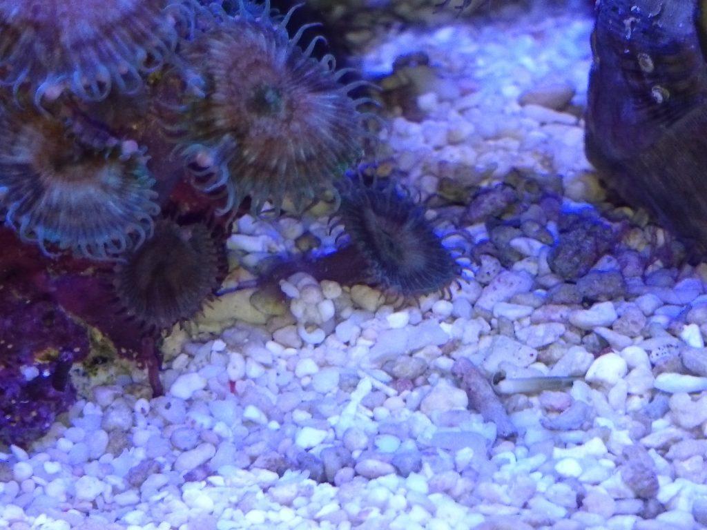 サンゴ片に活着して転がっているボタンポリプ