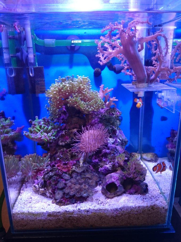 30cmキューブハイ海水水槽のサンゴ達