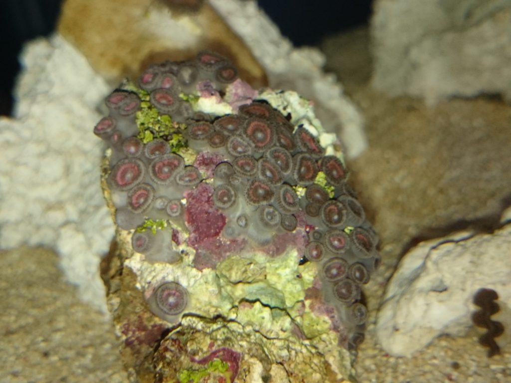 マメスナギンチャクピンク 自然光下での撮影