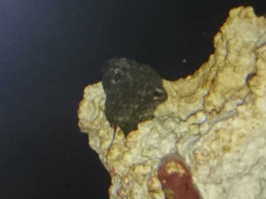 茶ゴケを食べる貝