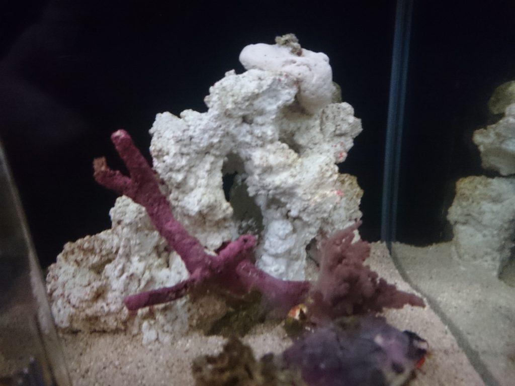 石灰藻の付着したライブロックとライブロックレプリカの色比較