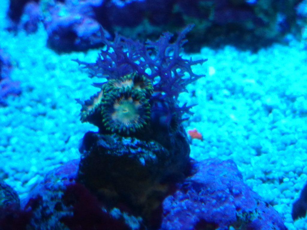 マメスナに被り成長する紅藻