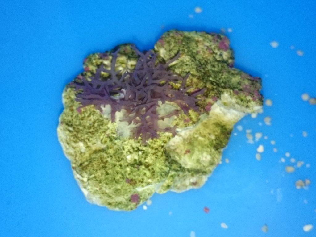 海藻をライブロックに固定