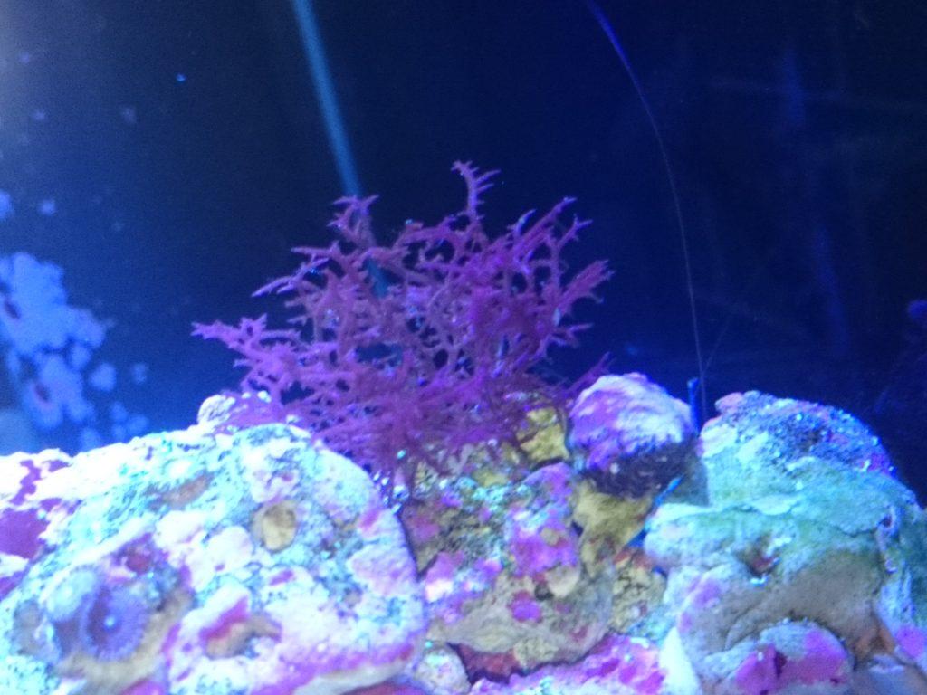 育った紅藻