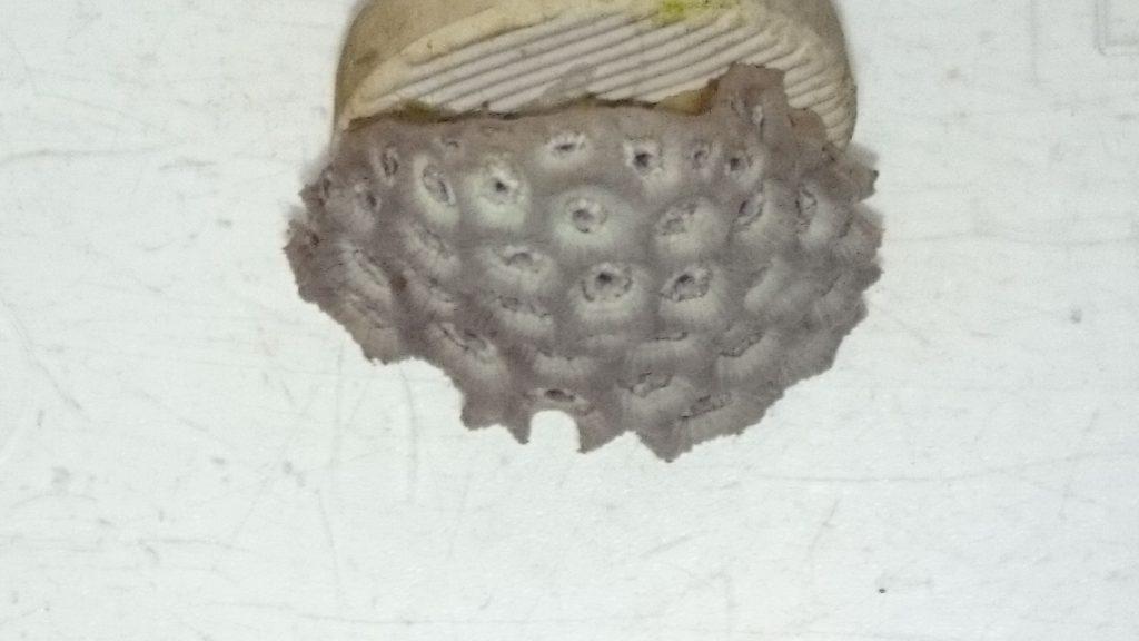 ハナガササンゴ ショートポリプ