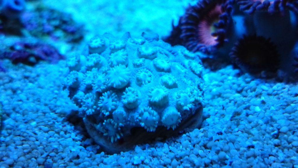 ハナガササンゴ ショートポリプ フラグ 照明点灯直後
