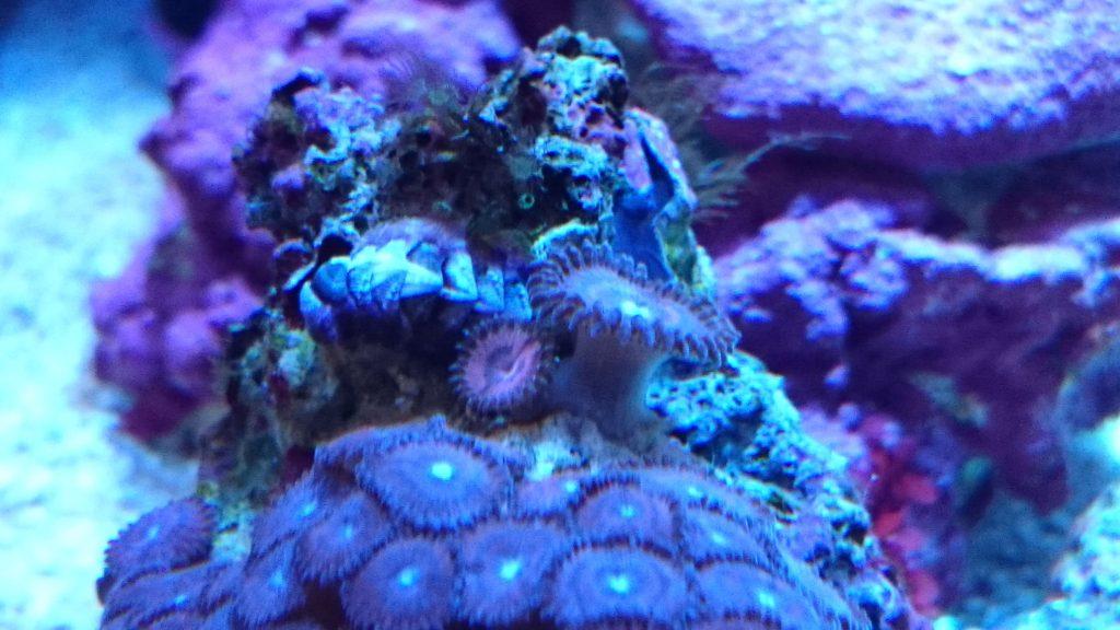 ライブロックについてきたヒザラガイと岩牡蠣