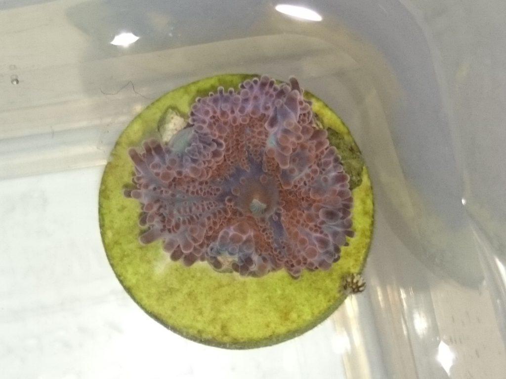 バブルディスク レッド・オレンジ系 水合わせ中1