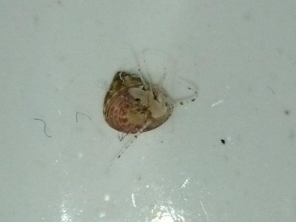 フラグに付いてきた小さな貝2