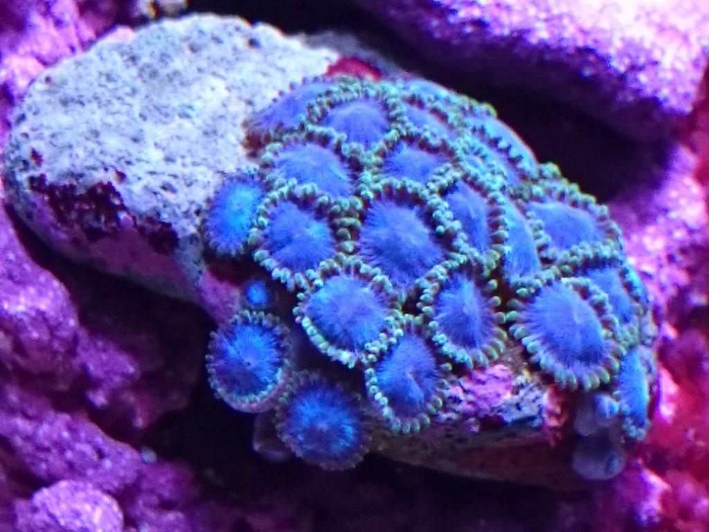 グラッシーレディオRX072 Reef下の蛍光ブルー