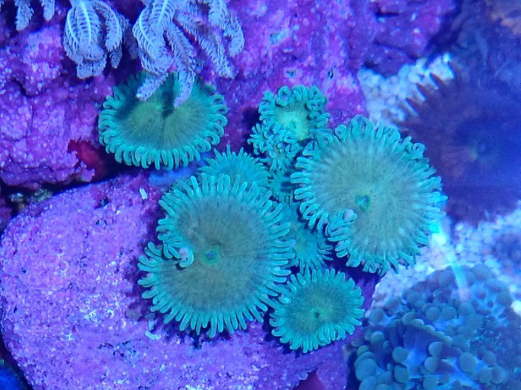 グラッシーレディオRX072 Reef下のボタンポリプ蛍光グリーン