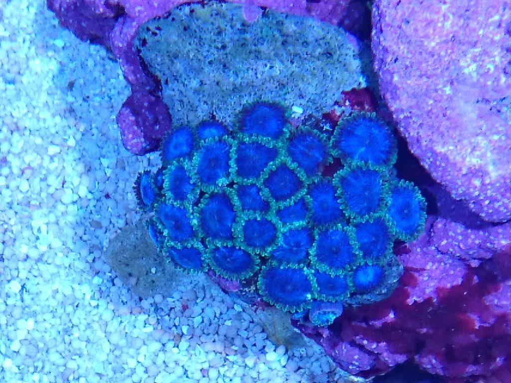 グラッシーレディオRX072 Reef下のマメスナ蛍光ブルーグリンエッジ