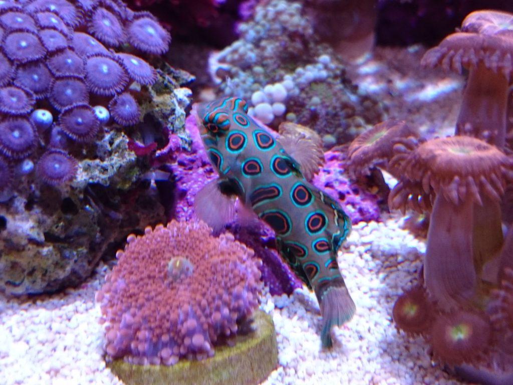 サンゴの間を泳ぐスポッテッドマンダリン