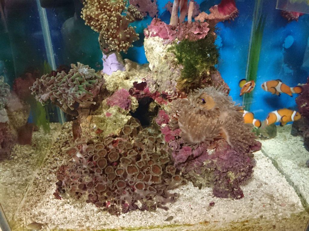 サンゴイソギンチャク投入初日 消灯後の30cmキューブ水槽