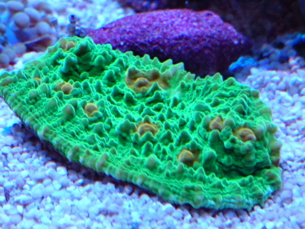 キッカサンゴ メタグリーン 照明点灯下での発色