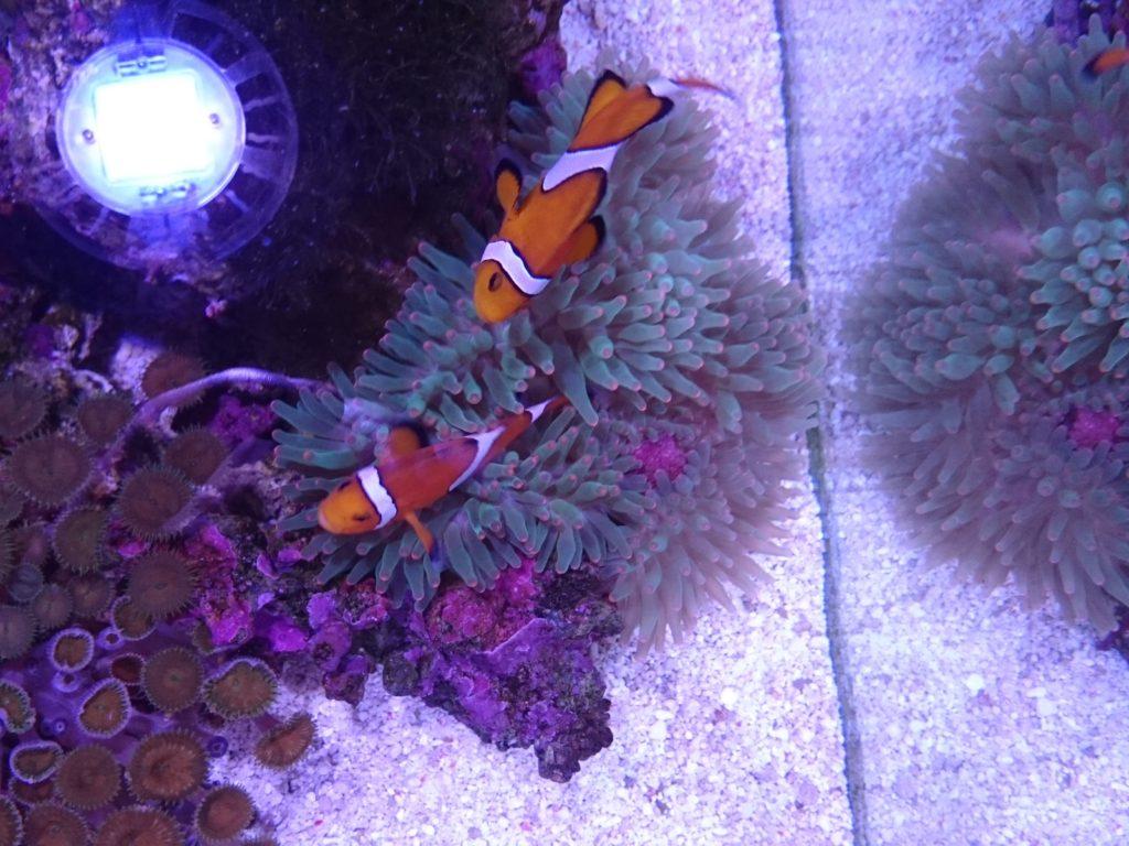サンゴイソギンチャク オレンジチップ 現在の姿