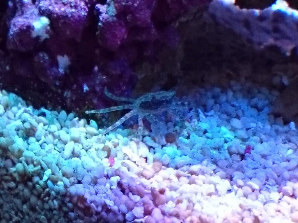 海水水槽に出現したカニ